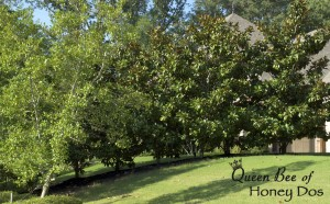 Little Gem Magnolias