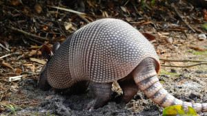 March of the Armadillos