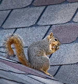 prevent squirrels in attic - feature. squirrel on roof
