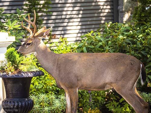 deer eating arborvitae