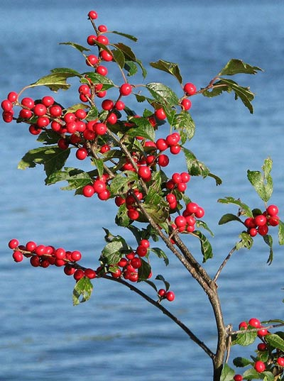 winterberry branch with berries