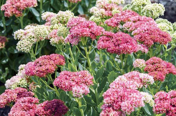 stonecrop in full bloom