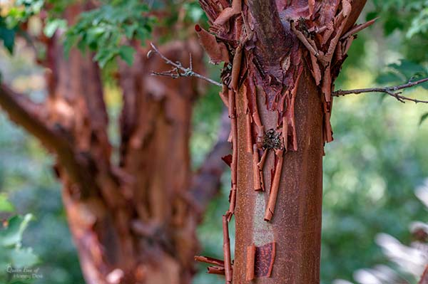 paperbark maple's bark