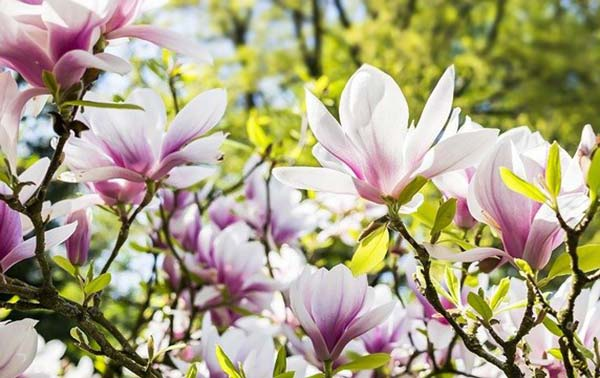saucer magnolia blooms